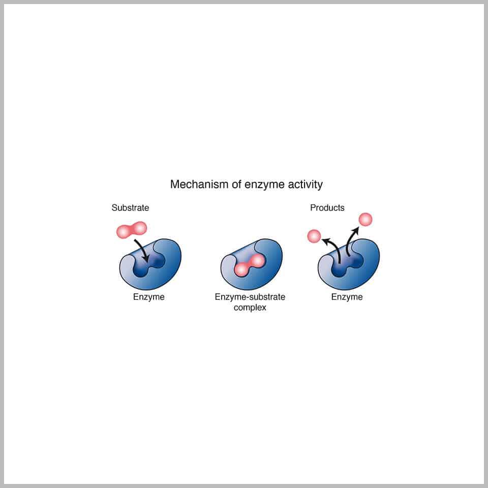 Enzymes-ingredients