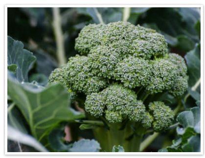 Broccoli Leaf Extract