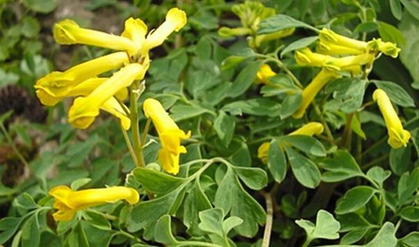 Corydalis Yanhuosuo
