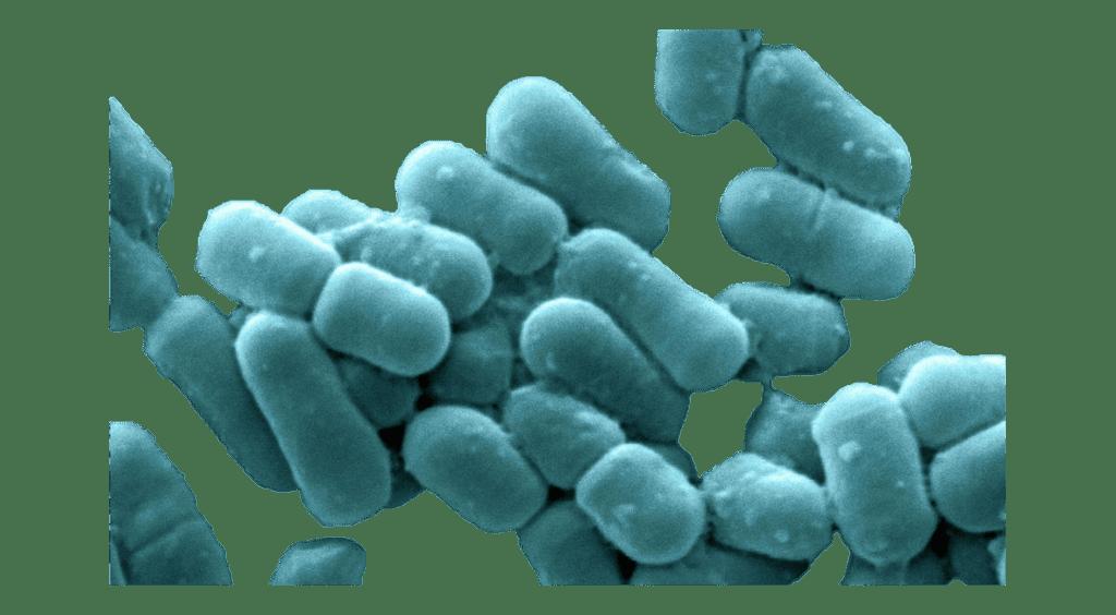 Lactobacillus Fermentum