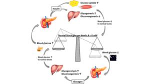 The Body Regulate Blood Sugar levels